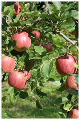 弘前のりんご