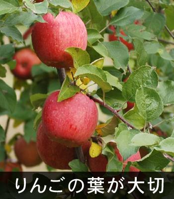 りんごの葉が大切