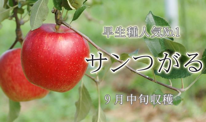 早生種人気��1 サンつがる 9月中旬収穫
