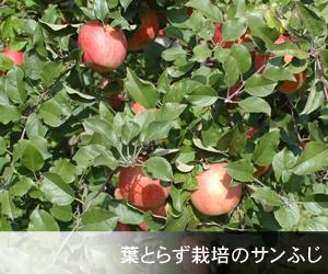 葉とらず栽培のサンふじ