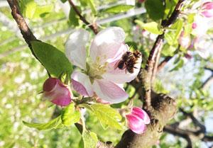 無農薬りんごへチャレンジ