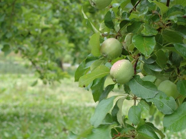 りんごと雨